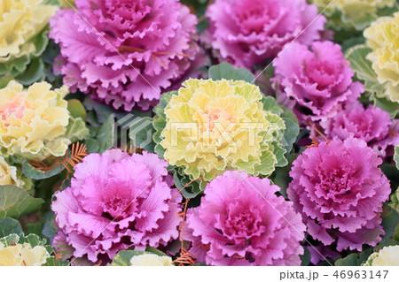 ハボタンの花 46963147