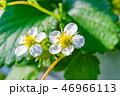 苺 果物 フルーツの写真 46966113