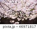 春 植物 桜の写真 46971817