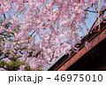 春 植物 桜の写真 46975010