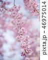 春 植物 桜の写真 46975014