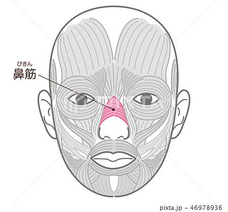 鼻筋(びきん) 46978936