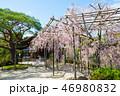 平安神宮神苑の桜 (京都府京都市左京区) 2017年4月 46980832