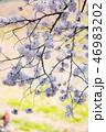 花 春 桜の写真 46983202
