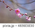 梅 花 梅の花の写真 46983830