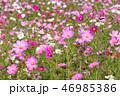 コスモス 秋桜 花の写真 46985386