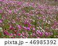 コスモス 秋桜 花の写真 46985392