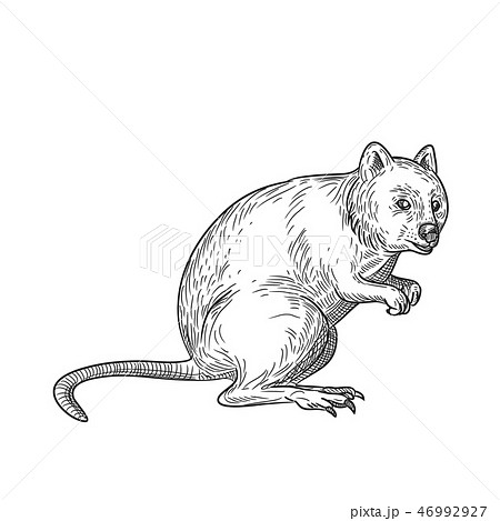 Quokka Drawing Black and White 46992927