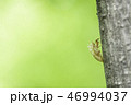 蝉 エゾハルゼミ 昆虫の写真 46994037