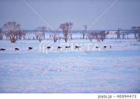 雪原を一列になって歩くエゾシカの群れ(北海道・野付半島) 46994473