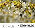 桜 大島桜 花の写真 46994980