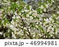 桜 大島桜 花の写真 46994981