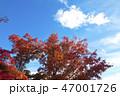 植物 葉 もみじの写真 47001726