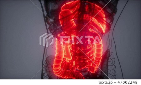 3d illustration of human digestive system  47002248