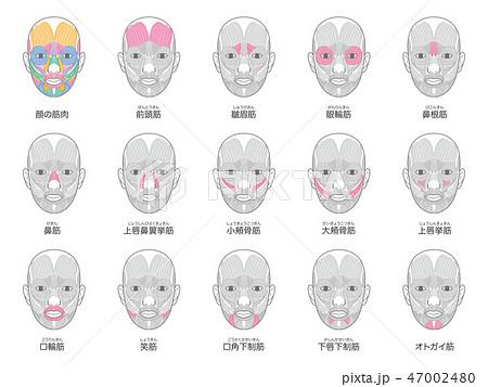 顔の筋肉 名称入り まとめ 47002480