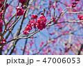 梅 花 梅の花の写真 47006053