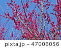 梅 花 梅の花の写真 47006056