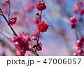 梅 花 梅の花の写真 47006057