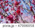 梅 花 ピンクの写真 47006058