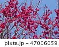 紅梅 梅 花の写真 47006059