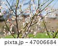 梅 花 梅の花の写真 47006684