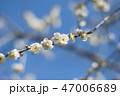 梅 花 梅の花の写真 47006689