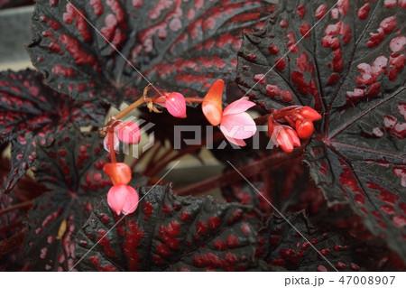 レックスベゴニア 黒い葉とピンクの花アップ 47008907