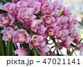 シンビジューム 花 蘭の写真 47021141