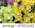 シンビジューム 花 蘭の写真 47021142