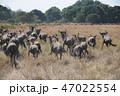 ケニア マサイマラ サファリの写真 47022554