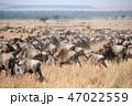 ケニア マサイマラ サファリの写真 47022559