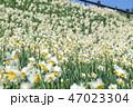 花 スイセン 満開の写真 47023304
