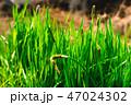 草 背景 緑の写真 47024302