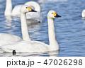 白鳥 47026298