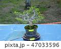 盆栽 樹木 樹の写真 47033596