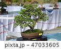 盆栽 樹木 樹の写真 47033605