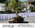 盆栽 樹木 樹の写真 47033611
