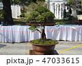 盆栽 樹木 樹の写真 47033615