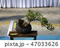 盆栽 樹木 樹の写真 47033626