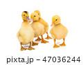 ガチョウ グース ガンの写真 47036244