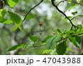 桜の実(8月) 47043988