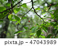桜の実(8月) 47043989