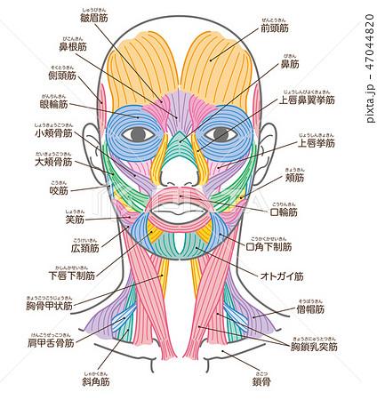 顔と首回りの筋肉 名称入り 47044820