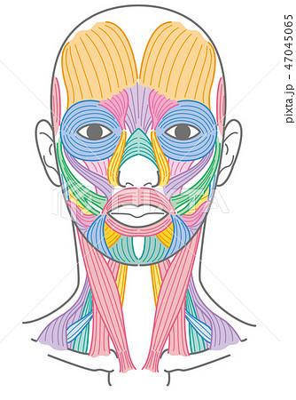 顔と首回りの筋肉 47045065