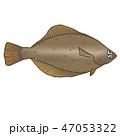 鰈 魚 魚類のイラスト 47053322