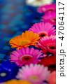 ガーベラ 花 植物の写真 47064117
