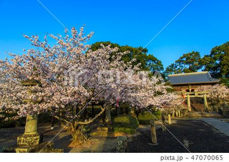 旭ヶ丘公園の桜 朝風景  【佐賀県鹿島市】 47070065