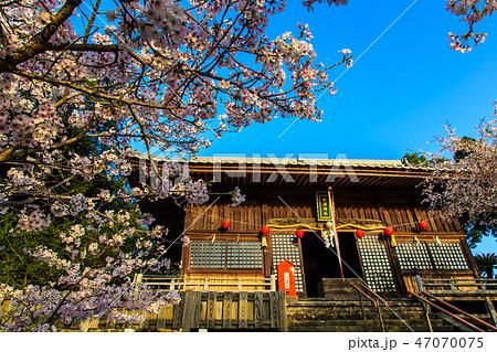 旭ヶ丘公園の桜 朝風景  【佐賀県鹿島市】 47070075