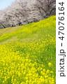 桜 春 菜の花の写真 47076164