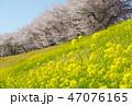 桜 春 菜の花の写真 47076165